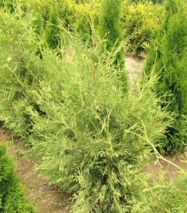 Thuja occidentalis 'Perk Vlaanderen' Туя західна