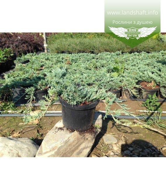 Juniperus horizontalis 'Blue Chip', Ялівець повзучий 'Блу Чіп'