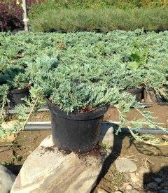 Juniperus horizontalis 'Blue Chip' Можжевельник горизонтальный