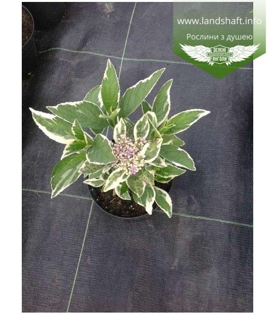 Hydrangea macrophylla 'Mariesii Variegata/Maculata', Гортензія крупнолиста 'Марієзі Варієгата/Макула