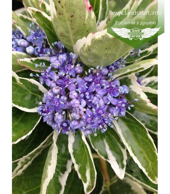 Hydrangea macrophylla 'Mariesii Variegata' ('Maculata') Гортензия крупнолистная