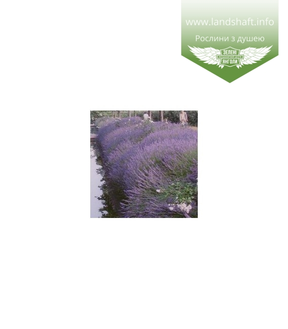 Lavandula x intermedia 'Grappenhall', Лаванда середня 'Граппенхол'