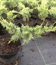 Juniperus virginiana 'Golden Spring', Ялівець віргінський 'Голден Спрінг'
