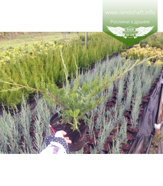 Juniperus x pfitzeriana 'Mint Julep Tarka' Можжевельник Пфицера 'Минт Джули Тарка'