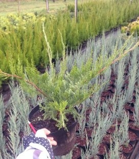 Juniperus x media 'Mint Julep Tarka', Можжевельник средний 'Минт Джулип Тарка'