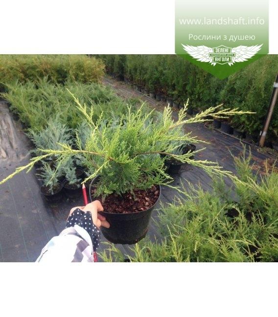 Juniperus x pfitzeriana 'Old Gold' Ялівець Пфіцера