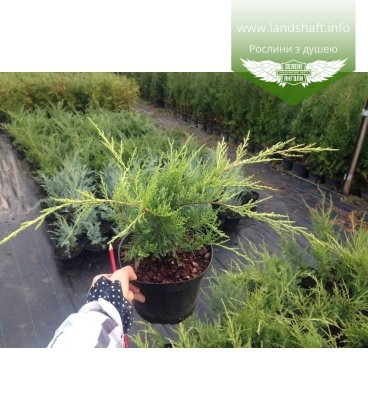 Juniperus x pfitzeriana 'Old Gold' Ялівець Пфіцера