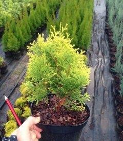 Thuja occidentalis 'Aurescens' Туя західна 'Ауресценс'