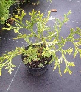 Thujopsis dolabrata 'Variegata', Туевик японский 'Вариегата'