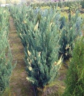 Juniperus chinensis 'Stricta Variegata', Можжевельник китайский 'Стрикта Вариегата'