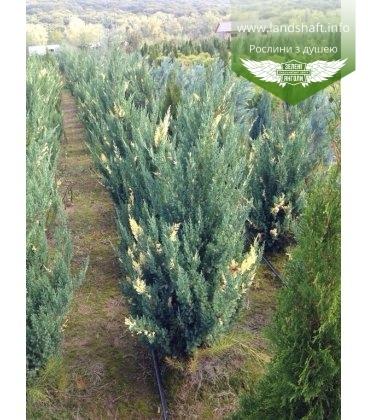Juniperus chinensis 'Stricta Variegata' Можжевельник китайский