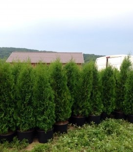 Thuja occidentalis 'Holmstrup' Туя західна