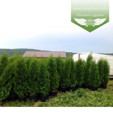 Thuja occidentalis 'Holmstrup' Туя западная