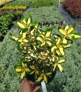 Euonymus japonica 'Golden Maiden', Бересклет японський 'Голден Мейден'