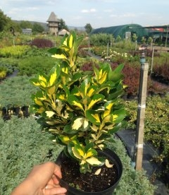 Euonymus japonicus 'Golden Maiden' Бересклет японский