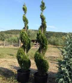 Thuja occidentalis 'Smaragd', Туя западная 'Cмарагд' спираль