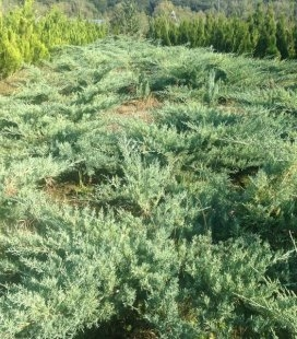 Juniperus virginiana 'Grey Owl', Можжевельник виргинский 'Грей Овл'
