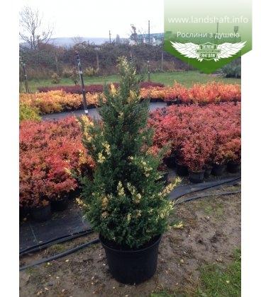 Juniperus chinensis 'Stricta Variegata' Ялівець китайський