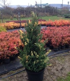 Juniperus chinensis 'Stricta Variegata', Ялівець китайський 'Стрікта Варієгата'