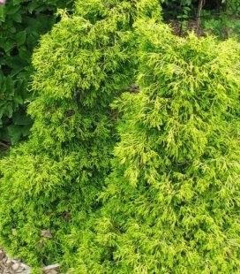 Chamaecyparis obtusa 'Tsatsumi Gold', Кипарисовик туполистий 'Цацуми Голд'