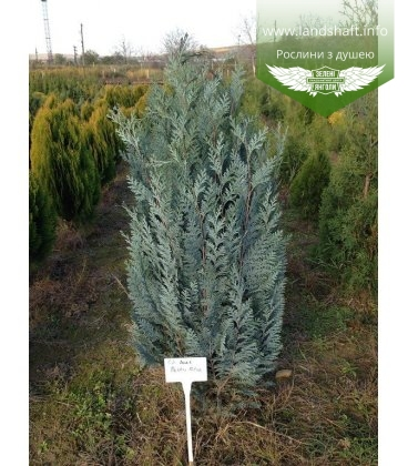 Chamaecyparis lawsoniana 'Pelts Blue' Кипарисовик Лавсона