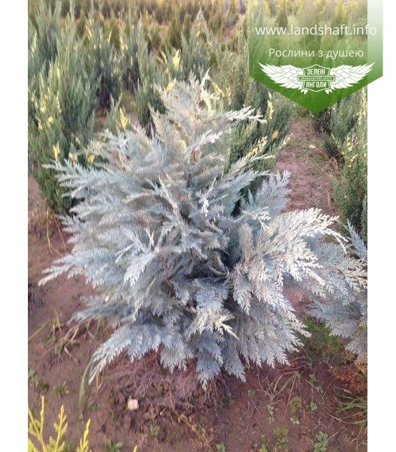 Chamaecyparis lawsoniana 'Pembury Blue' Кипарисовик Лавсона