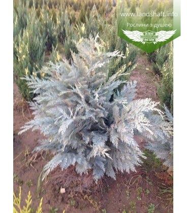 Chamaecyparis lawsoniana 'Pembury Blue', Кипарисовик Лавсона 'Пембері Блу'