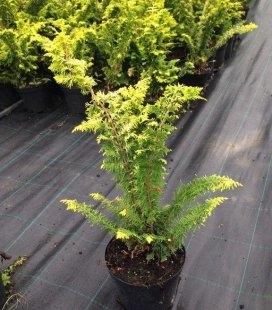Chamaecyparis obtusa 'Fernspray Gold' Кипарисовик туполистный