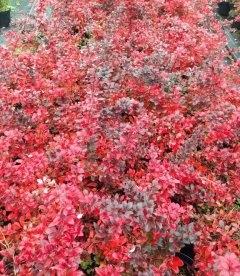 Berberis x media 'Red Jewel', Барбарис середній 'Ред Джевел'