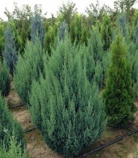 Juniperus chinensis 'Stricta', Можжевельник китайский 'Стрикта'