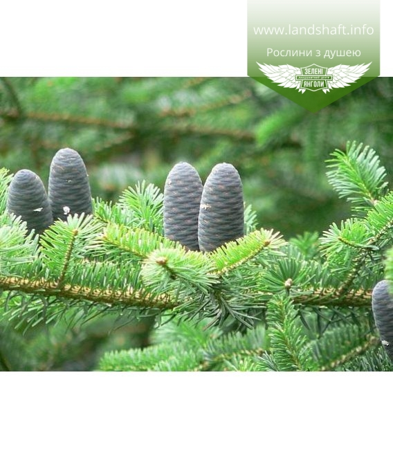 Abies homolepis Пихта равночешуйчатая (Никко)