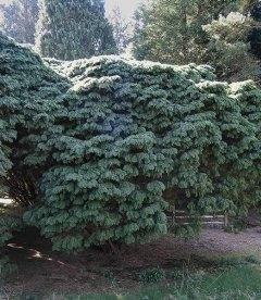 Chamaecyparis lawsoniana 'Tamariscifolia', Кипарисовик Лавсона 'Тамарісціфоліа'
