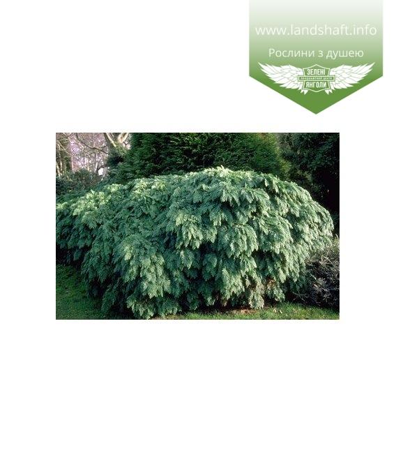 Chamaecyparis lawsoniana 'Tamariscifolia' Кипарисовик Лавсона тамариксолистный