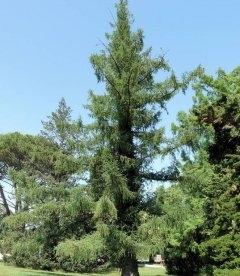 Larix x eurolepis Лиственница широкочешуйчатая