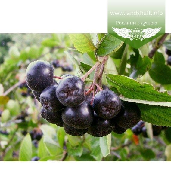 Aronia melanocarpa Арония черноплодная