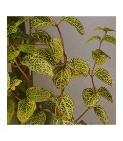 Lonicera japonica 'Aureoreticulata' Жимолость японская