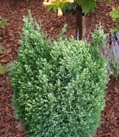 Chamaecyparis lawsoniana 'Snow White' , Кипарисовик Лавсона 'Сноу Вайт'