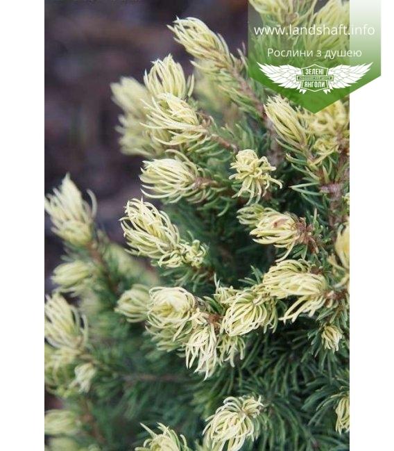 Picea glauca 'Rainbow's End', Ялина канадська 'Рейнбоуз Енд'