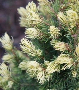 Picea glauca 'Rainbow's End' Ялина біла (канадська) 'Рейнбоуз Енд'