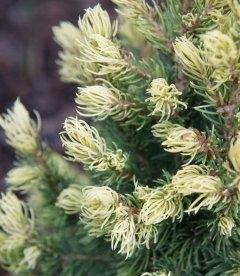 Picea glauca 'Rainbow's End' Ель канадская