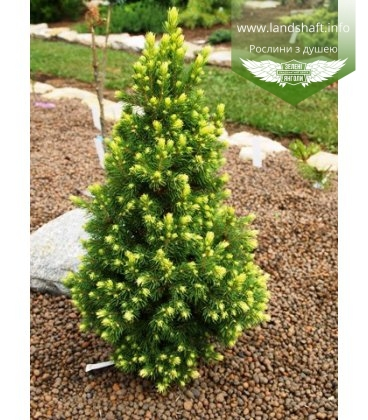 Picea glauca 'Rainbow's End' Ель канадская