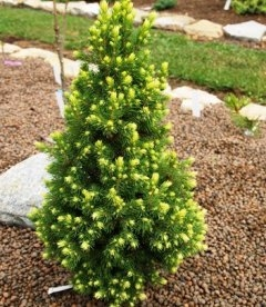 Picea glauca 'Rainbow's End', Ель канадская 'Рейнбоуз Энд'