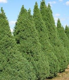 Picea glauca 'Conica' Ель канадская