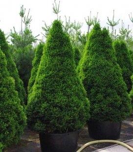 Picea glauca 'Conica' Ялина біла (канадська)