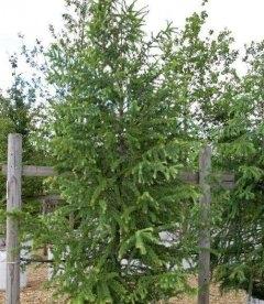 Larix x eurolepis, Лиственница широкочешуйчатая