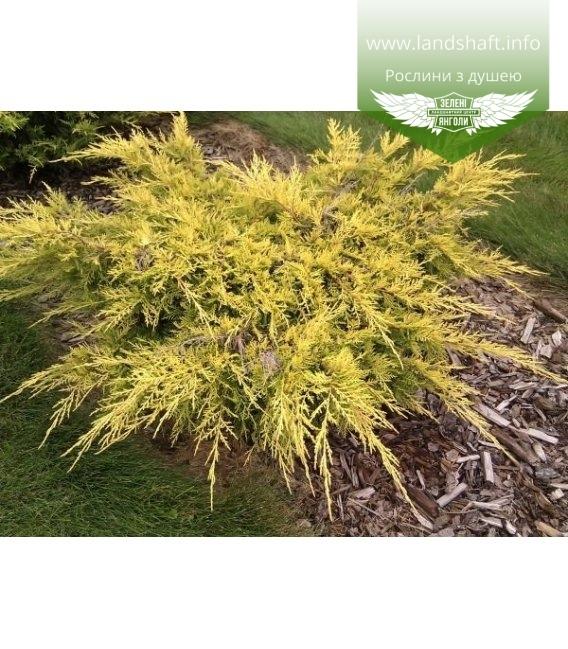 Juniperus x media 'Saybrook Gold', Ялівець середній 'Сейбрук Голд'
