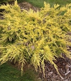 Juniperus x pfitzeriana 'Saybrook Gold' Ялівець Пфітцера