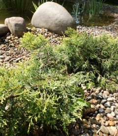 Juniperus x media 'Golden Saucer', Ялівець середній 'Голден Саусер'