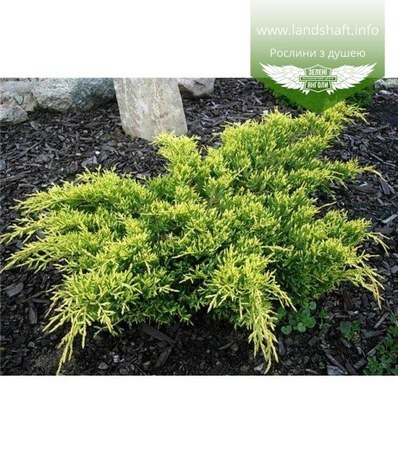 Juniperus x pfitzeriana 'Goldkissen' Можжевельник Пфитцера