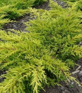 Juniperus x media 'Goldkissen', Можжевельник средний 'Голдкиссен'